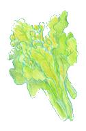 菜の花イメージ